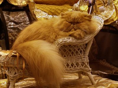 Lounging Persian